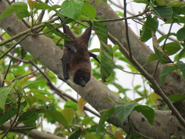木にぶらさがるコウモリ