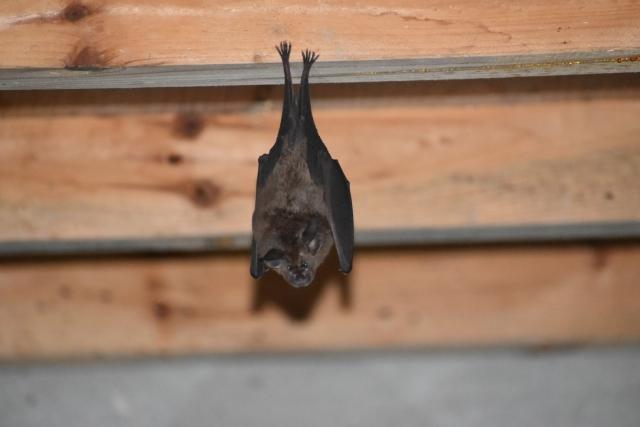 コウモリの鳴き声は鼠そっくり!簡単な見分け方